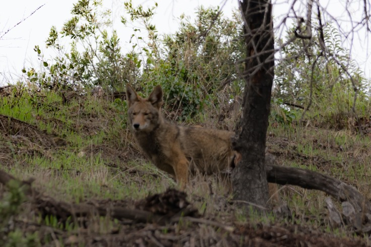 Say hello to our little (coyote) friend. Not an unfamiliar site in the hills surrounding Los Angeles.